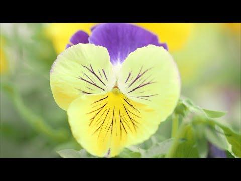 Pansy and Viola