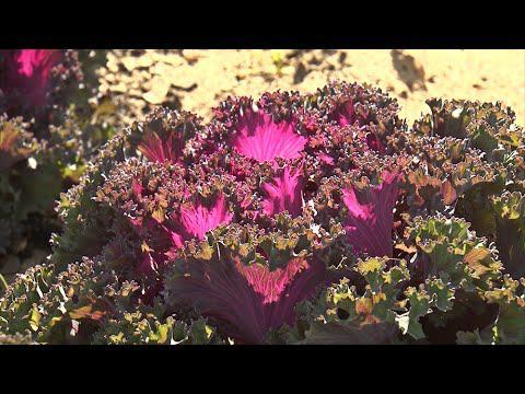 Ornamental Cabbage & Kale