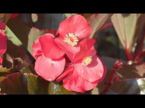 Sun and Shade Begonias