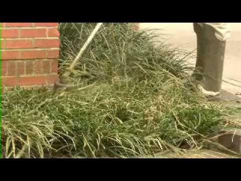 Cutting Back Evergreen Groundcovers - MSU Extension Service