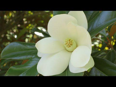 Southern Magnolias