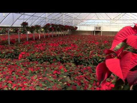 Christmas Poinsettias - Southern Gardening TV - December 11, 2013