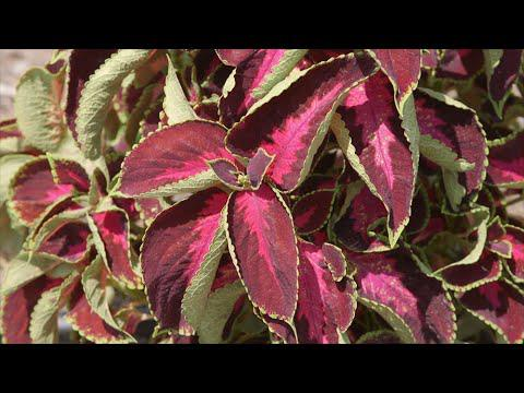 Tough Coleus Color