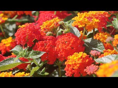 Lantana in Autumn