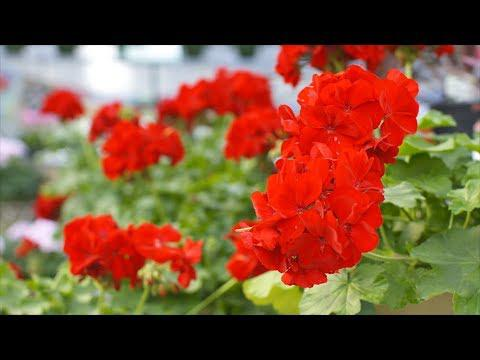 These Aren't Your Grandma's Geraniums