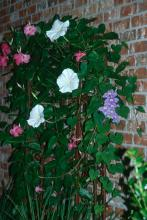 """This """"24-hour trellis"""" features the blue-flowered Brazilian Skyflower, pink Alice du Pont mandevilla and the Giant White moonflower."""