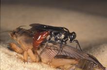 A Larra bicolor wasp attacking a mole cricket. (Lyle Buss, University of Florida)