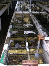 Plastic paddles, designed by catfish hatchery owner Jerry Nobile of Sunflower County, can be stopped by hand and are a safer alternative to those made from metal that typically are used in hatcheries. The white paddles, which circulate water and provide oxygen to the catfish, are cut from thick plastic barrels and bent to fit around the rod that moves them.