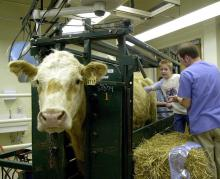Kenneth Riley of Starkville feels inside one of Mississippi State University's fistulated steers. Veterinary student Brad Nunley, a member of the class of 2005, monitors the experience.
