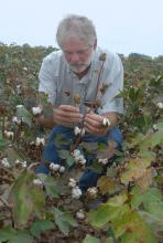 Mississippi State University irrigation researcher Lyle Pringle analyzes cotton at the Delta Research and Extension Center, near Stoneville. (Photo by Jim Lytle)