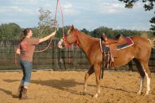 Shanna Lee of Poplarville helps a young horse at Mississippi State University become accustomed to a lead rope during a training session on Oct. 17. Lee, a senior in animal and dairy science, is taking part in a class that teaches students how to safely train horses. (Photo by Linda Breazeale)