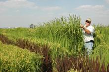Solomon, an MSU doctoral student, examines historic rice breeding lines that he grew at the Delta Research and Extension Center in Stoneville in 2007.