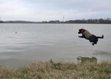 Tess has fully recovered and is duck hunting again. In January, she was leaping into a Leflore County pond to retrieve a decoy. (Submitted photo by Steve Horn)