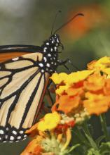 Scientists have discovered that butterflies do a lot more than just pollinate plants. Conserving the butterfly population by increasing their habitats benefits food production and the ecosystem. (Photo by Kat Lawrence)