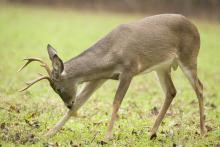 Research conducted by Mississippi State University shows that protecting younger bucks improves the health of the deer population. (Photo by Steve Gulledge)