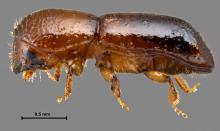 Redbay ambrosia beetle
