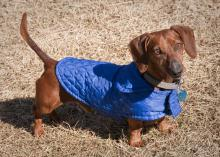 Doggie coats, such as the one modeled by Blue, a miniature Dachshund from Starkville, can help small animals stay warm during winter. (Photo by MSU Ag Communications/Scott Corey)