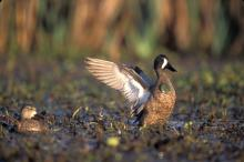 Mississippi State University researchers are gathering inforamtion that will help biologists and managers determine where and when habitats should be made available for migrating and wintering ducks. (Photo by Joe Mac Hudspeth, Jr.)