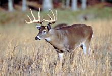 Photo of a deer in the wild.