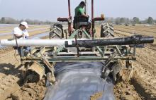 Juan Salinas drives the tractor that spreads black plastic over the row of bedded sweet potatoes in late March. A few inches of soil is placed over potatoes, and they are covered with black plastic until the plants begin to emerge from the soil.