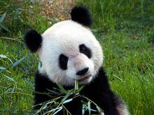 Mississippi State University researchers recently discovered several species of microbes in panda excrement that could be replicated and used to process biofuels. (MSU's Department of Biochemistry, Molecular Biology, Entomology, and Plant Pathology/Ashli Brown)