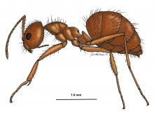 This scientific illustration depicts an adult crazy hairy ant, Nylanderia pubens, which was first detected in Mississippi in 2009. (Illustration by Mississippi Entomological Museum/Joe MacGown)