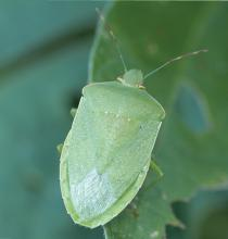 Warm winter temperatures may improve the survival of stink bugs, such as this as this Southern green stink bug. Stink bugs afflict vegetable crops and row crops, especially soybeans. (Photo courtesy of Angus Catchot)