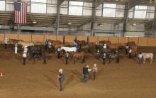 Eighteen competitors in the performance gelding halter class show their horses to judges at the Mississippi State University Bulldog Classic AQHA show held March 10-11.