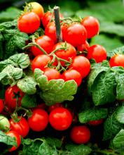 An early spring is giving many home gardeners early harvests of tomatoes and vegetables. (File Photo)