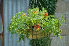 """The 2011 All-America Selection Vegetable Award-winning """"Lizzano"""" F1 cherry tomato is both durable and compact, perfect for hanging baskets or any other type of container on patios or porches. (Photo courtesy of All-America Selections)"""
