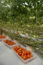 These 8-month-old hydroponic tomato vines are 30 feet long and producing close to 4,000 pounds of tomatoes per week at St Bethany Fresh farm in Pontotoc County on Aug. 2, 2012. The 3,000 plants in the 12,000-square-foot greenhouse produced 6,000 pounds of tomatoes per week during the peak weeks in April and May. (Photo by MSU Ag Communications/Linda Breazeale)