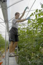 Dillon Harris of the Furrs Community in Pontotoc County adjusts the 30-foot tomato vines in the 12,000-square-foot greenhouse at St Bethany Fresh on Aug. 2, 2012. (Photo by MSU Ag Communications/Linda Breazeale)