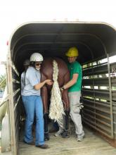 Mississippi State University's College of Veterinary Medicine students Samantha Vitale and Jason Collins are part of a team using a mannequin to learn how to remove a horse from a trailer during a Technical Large Animal Emergency Response class on Sept. 28, 2012, in Verona, Miss. (Photo by MSU College of Veterinary Medicine/Dr. Carla Huston)
