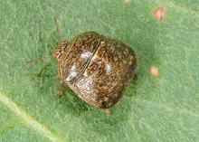 Kudzu bugs have a unique square shape and a strong odor. They feed on soybeans and legume crops in addition to kudzu and can become household pests when they swarm in the fall. (Photo by MSU Extension Service/Blake Layton)