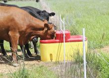 Cows at Gordon Farms in Panola County drink from water fountains placed at the fences between paddocks in Durwood Gordon's intensive grazing cattle operation. (Photo by MSU Ag Communications/Scott Corey)