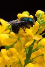 Native pollinators, such as this Blue Orchard bee, benefit Mississippi's flowers and backyard gardens. The Pearl River County Master Gardeners put up several nesting blocks to support local bee populations. (Photo courtesy of the U.S. Department of Agriculture-Agricultural Research Service/Jack Dykinga)