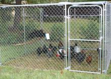 The 4-H Poultry Chain project is a low-cost introduction to raising livestock, and the birds can be managed in a small amount of space. (Submitted Photo)