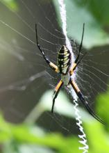 Spiders such as this zipper or banana spider consume massive quantities of insects, but most are not pests in Mississippi gardens and landscapes. (Photo by MSU Ag Communications/Kat Lawrence)
