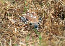Fawns are left alone while their mothers forage for food, a survival strategy that leads people to believe the fawns have been abandoned. Leave wild baby animals alone and call the Mississippi Department of Wildlife, Fisheries and Parks to report an orphan. (Photo by MSU Ag Communications/File Photo)