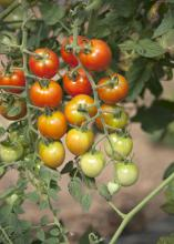 Dick Hoy of Choctaw Fresh Produce and his team are growing a variety of fruits and vegetables, including these tomatoes, to sell at the local farmers market. (Photo by MSU Ag Communications/Kat Lawrence)