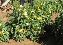 Gardeners can replant some summer vegetables, such as peppers, when their existing plants stop producing. Tomatoes, squash and cucumbers can also  produce before cold weather arrives. (File Photo/MSU Ag Communications)