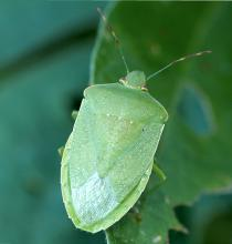 Stink bugs are plentiful in fall gardens and are especially attracted to fall tomatoes and peppers. Maintaining a spray program will help control these and other late-season pests. (File Photo/MSU Ag Communications)