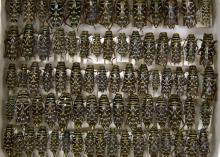 These locust borer beetles are part of an extensive long-horned beetle collection recently donated to the Mississippi Entomological Museum housed at Mississippi State University. (Photo by MSU Ag Communications/Kat Lawrence)
