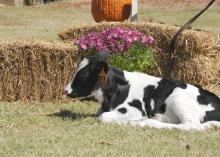 Holstein calves are among of the tourist attractions at Ard's Dairy Farm in Lincoln County. Other agritourism opportunities on this working dairy farm include an operational milking parlor, a corn maze, a playground and a barrel train. (MSU Ag Communications File Photo/Kat Lawrence)
