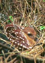 Within the first hours of their lives, fawns can be vulnerable to wild hogs. (File photo by MSU Ag Communications)