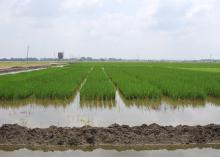 Mississippi State University entomologists grow rice plots every year at the Delta Research and Extension Center in Stoneville to study the relationships between insect pests and different management practices, including the use of seed treatments. (Photo by Delta Research and Extension Center/Jeff Gore)