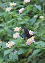 Planting flowers that attract butterflies can add another dimension of beauty to a backyard wedding or reception. (Photo by MSU Ag Communications/Keri Collins Lewis)