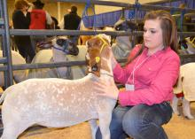 Calhoun County 4-H member Mikayla Shelton prepares her Mississippi-bred grand champion light heavyweight goat, Ready Or Not, for his turn in the show ring at the Dixie National Sale of Champions Feb. 6 in Jackson. The 44 market goats, lambs, steers and hogs brought a preliminary total of $369,150, setting a new record. (Photo by MSU Ag Communications/Susan Collins-Smith)