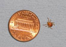 Lone star ticks, such as this adult female, are found in all Mississippi counties. (Photo by MSU Ag Communications/Kat Lawrence)