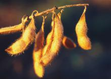Soybeans set a new harvest record, keeping this a billion dollar crop and Mississippi's third-largest agricultural commodity in 2014. (File Photo/MSU Ag Communications)